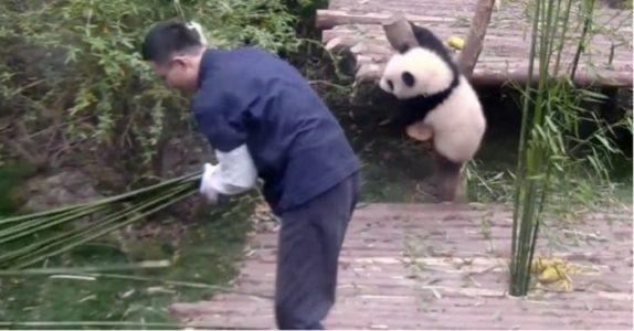 Djurskötaren försöker dekorera lite i inhägnaden. Pandans reaktion? Jag skrattar så jag GRÅTER!